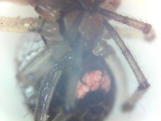 Spider - Leucauge venusta
