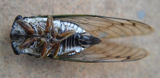 Annual Cicada- Dark Lyric Cicada - Neotibicen lyricen - female