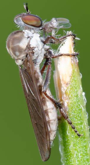 Holcocephala but which one? - Holcocephala calva