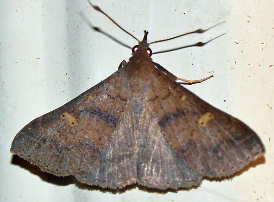 ? - Renia discoloralis - male