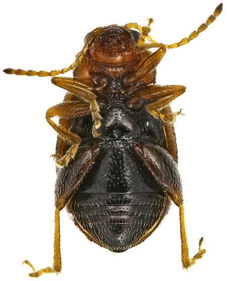Epitrix - Epitrix hirtipennis