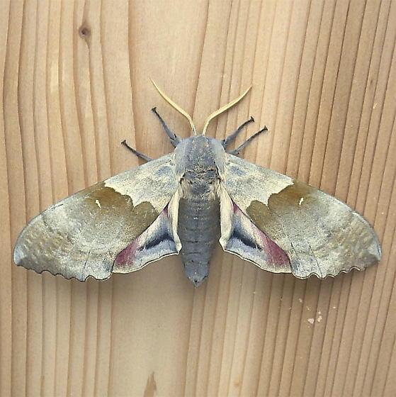 Sphingidae: Pachysphinx occidentalis - Pachysphinx occidentalis