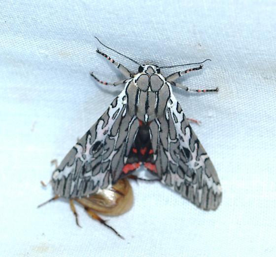 moth - Arachnis aulaea