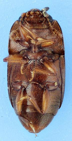 Carpophilus - Carpophilus marginellus