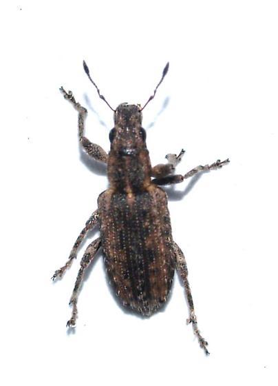 Sitona californicus? - Sitona californius
