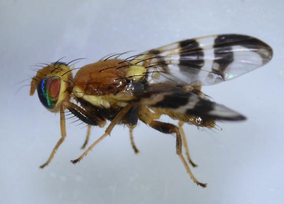 Tephritidae  - Rhagoletis completa