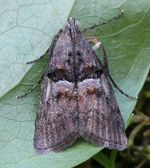 Pyralid Moth - Pococera robustella
