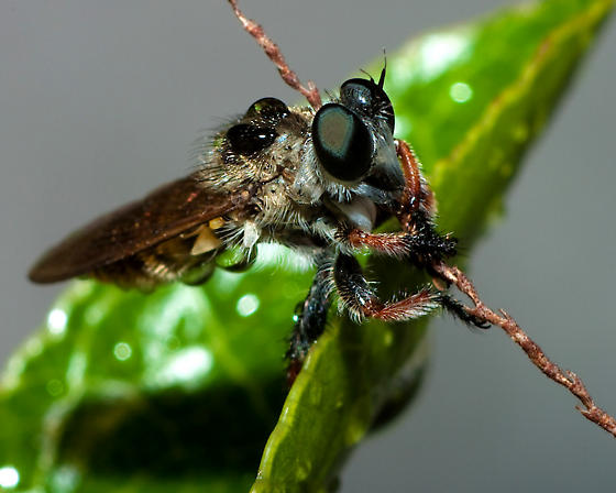 Another robberfly - Megaphorus clausicellus