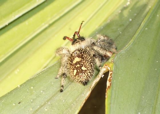 God save the bees - Phidippus regius - female