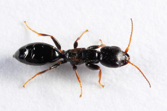 Bethylid - Bethylus decipiens - female