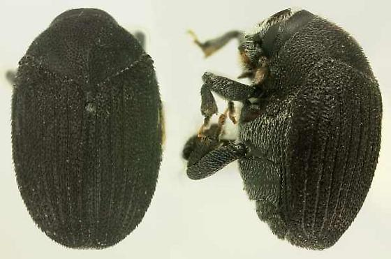 Dendrosinus bourreriae Schwartz - Dendrosinus bourreriae
