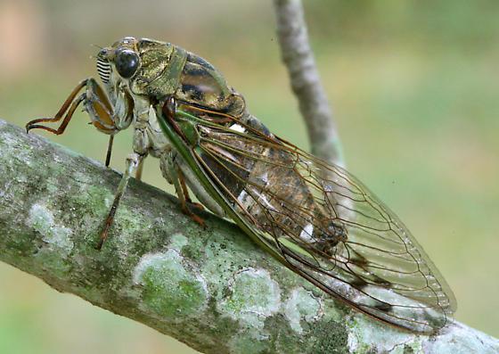 T. pruinosus - Neotibicen pruinosus - male