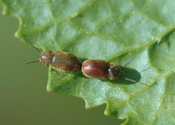 Mating beetles - Lasioderma haemorrhoidale - male - female