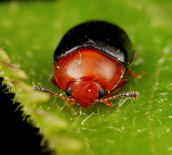 Coleoptera - Triplax flavicollis