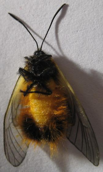 odd hymenopteran? - Pryeria sinica - female