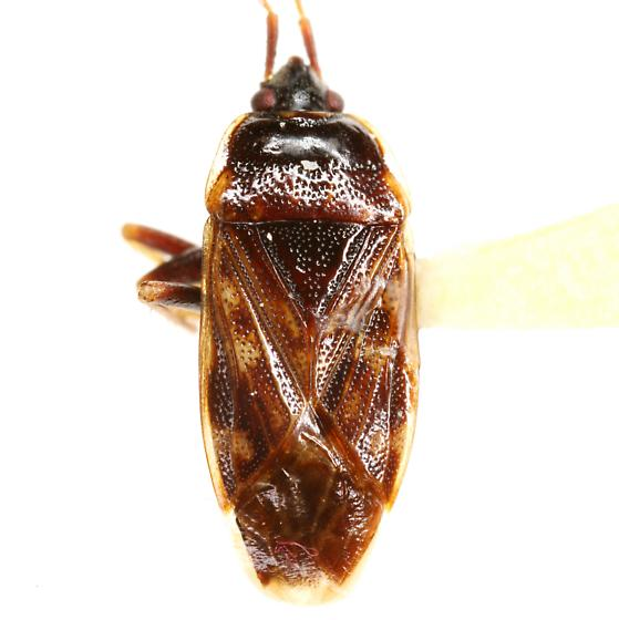 Neopetissius