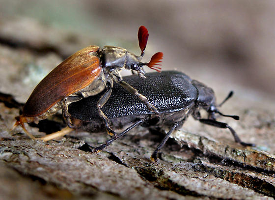 What type of Beetles? - Sandalus niger - male - female
