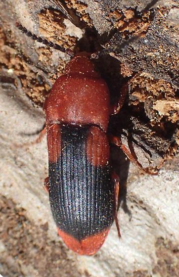 click beetle? - Palaeoxenus dohrnii