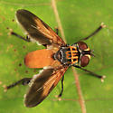 Feather-legged Fly - Trichopoda pennipes