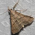 Moth unknown - Bleptina caradrinalis