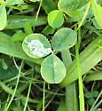 Liriomyza fricki ? - Liriomyza fricki