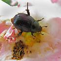 Anomala orientalis beetle in 'carefree delight' rose - Exomala orientalis