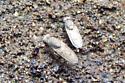 Shore flies swarming on muddy area - Paralimna