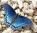 Red-Spotted Purple - Limenitis arthemis - Limenitis arthemis