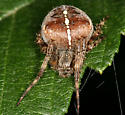 Cross Orbweaver - atypical pattern - Araneus diadematus - female