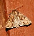 Oblique Brocade - Xylomoia indirecta
