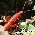 Eastern Lubber Grasshopper - Romalea microptera