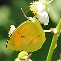 Sleepy Orange Butterfly - Abaeis nicippe