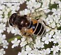Syrphid Fly - Eristalis arbustorum