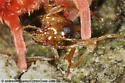 red velvet mite - prey ? - Allothrombium