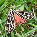 Underwing (Catocala) ? - Grammia parthenice