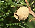 Potters wasp nest on juniper - Eumenes