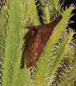 Membracidae - Enchenopa latipes