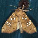 Ash Tip Borer - Papaipema furcata