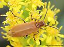 Beetle - Epicauta callosa