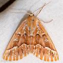 Red Girdle Moth - Caripeta aequaliaria - female