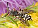 Nomad Bee - Nomada vicina? - Nomada vicina - male