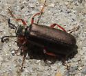 Bronzed blister beetle? - Lytta aenea