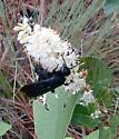 large wasp  - Pygodasis quadrimaculata