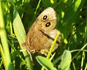 Butterfly in prairie remnant - Cercyonis pegala