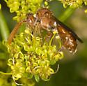 Cuckoo Bee? - Nomada