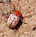 Sumac Flea Beetle - Blepharida rhois - Blepharida rhois
