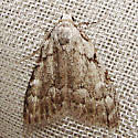 Moth 87 - Nola triquetrana