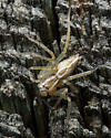 Oxyopes - Oxyopes salticus - female