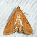 Floating-heart Waterlily Moth - Parapoynx seminealis