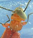 reindeer click  ; - ) - Aulonothroscus constrictor